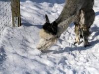 Alpaka  im Wildpark Osterzgebirge Januar 2013