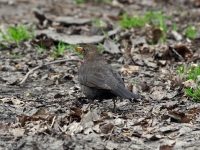 Amsel weiblich, April 3013