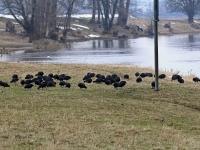 Gruppe Blässhühner wegen des langen Winters verzweifelt auf Nahrungssuche, Elbwiese Dresden Gohlis im März 2013