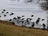 Gruppe Blässhühner wegen des langen Winters verzweifelt auf Nahrungssuche. Kommt man zu nah gehts ab ins Wasser. Elbwiese Dresden Gohlis im März 2013