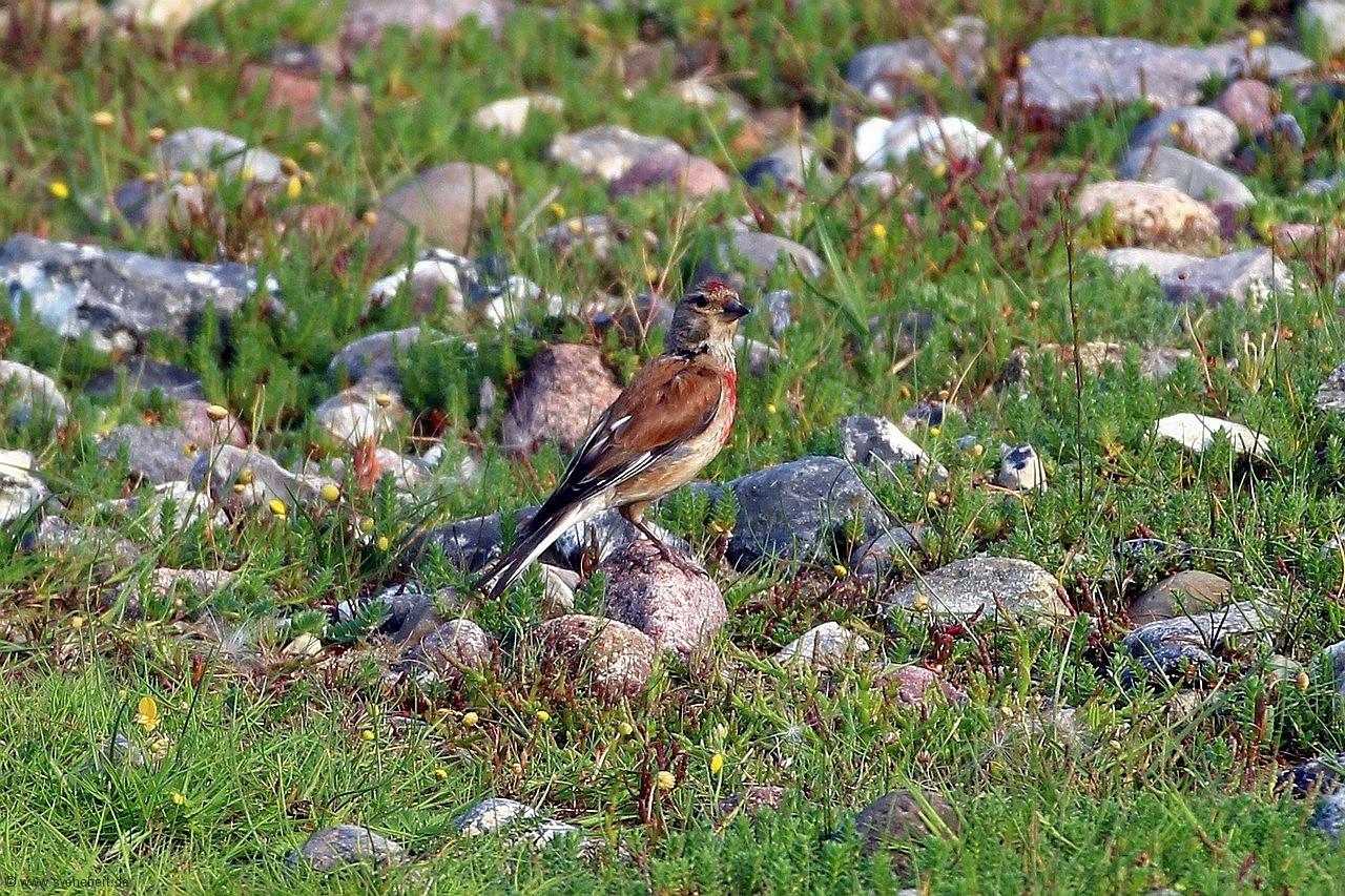 Bluthänfling Männchen, Ostsee, Insel Fehmarn, NABU Wasservogelreservat Wallnau, August 2015
