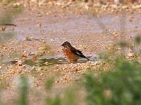 Bluthänfling Männchen beim baden in einer Pfütze, Mallorca, Ort: Sa Coma im Naturschutzgebiet Punta de n'Amer im April 2013