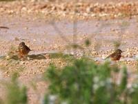 Bluthänfling Pärchen (rechts Männchen, links Weibchen) beim baden in einer Pfütze, Mallorca, Ort: Sa Coma im Naturschutzgebiet Punta de n'Amer im April 2013