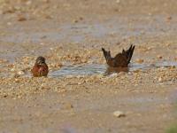 Bluthänfling Pärchen (links Männchen, rechts Weibchen) beim baden in einer Pfütze, Mallorca, Ort: Sa Coma im Naturschutzgebiet Punta de n'Amer im April 2013