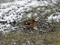 Buchfink Männchen, Dresden im März 2013