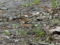 Buchfink Männchen im Prachtkleid, Dresden Ostragehege im April 2013