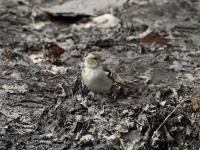 Buchfink Weibchen, Dresden Ostragehege im April 2013