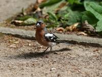 Buchfink Männchen im Prachtkleid, Dresden großer Garten im Juli 2013