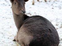 Damhirsch Wildgehege Moritzburg Januar 2013