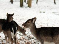Damhirsch Wildgehege Albertpark in der Dresdner Heide Januar 2013