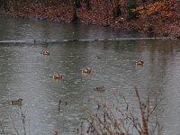 Carolasee mit Mandarinenten Großer Garten in Dresden im Winter