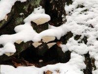 Pilze Dresdner Heide rund ums Fischhaus Januar 2013