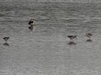 3 dunkle Wasserläufer im Schlichtkleid, Teichgebiet Zschorna, breiter Teich Nordufer, September 2014