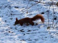 Eichhörnchen im Schnee im großen Garten Dresden im Januar 2013