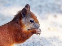 Eichhörnchen im großen Garten Dresden im Juli 2013