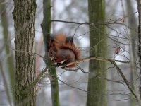 Eichhörnchen mit Haselnuss im Wildgehege Moritzburg