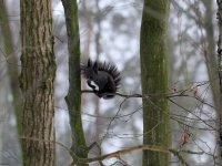Eichhörnchen schwarz im Wildgehege Moritzburg