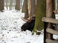 Elch im Wildgehege Moritzburg Januar 2013