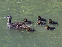 Stockente Weibchen mit 6 Küken, Carolasee im großen Garten Dresden im Juli 2013