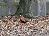 Jagdfasan Männchen neben der Straße vor dem Sprung auf die Mauer, Dresden Ostragehege