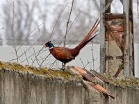 Jagdfasan Männchen auf der Mauer, Dresden Ostragehege