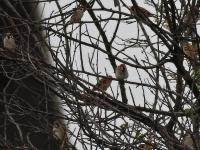 Schwarm Feldsperlinge in einem Baum, Sachsen nähe Radeburg im Oktober 2013