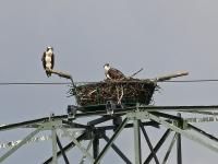 Fischadler mit Nachwuchs, bei Radeburg, Sachsen, Juli 2014