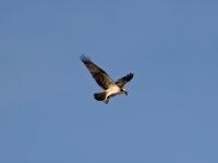 Fischadler im Jugendkleid (Jungvogel), Radeburger Stausee im Oktober 2013