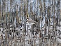 Flussregenpfeifer Jungvogel, Flugplatz Riesa-Göhlis auf einem überschwämmten Feld im September 2013