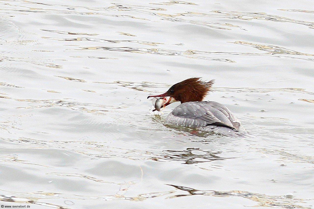 Gänsesäger weiblich mit Fisch im Schnabel, Hafen Dresden Pieschen im März 2013