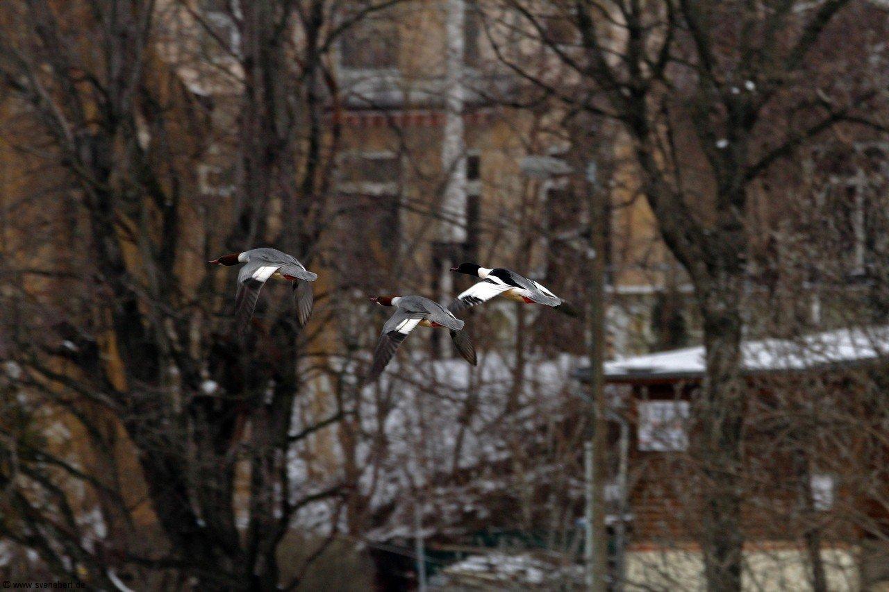 Gänsesäger, 2 Weibchen, 1 Männchen im Flug, Hafen Dresden Pieschen im März 2013