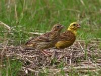 Goldammer Männchen füttert Jungvogel, Nähe Thiendorf, August 2014