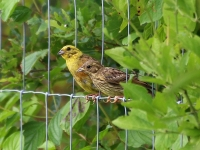 Goldammer Männchen und Jungvogel, Nähe Thiendorf, August 2014