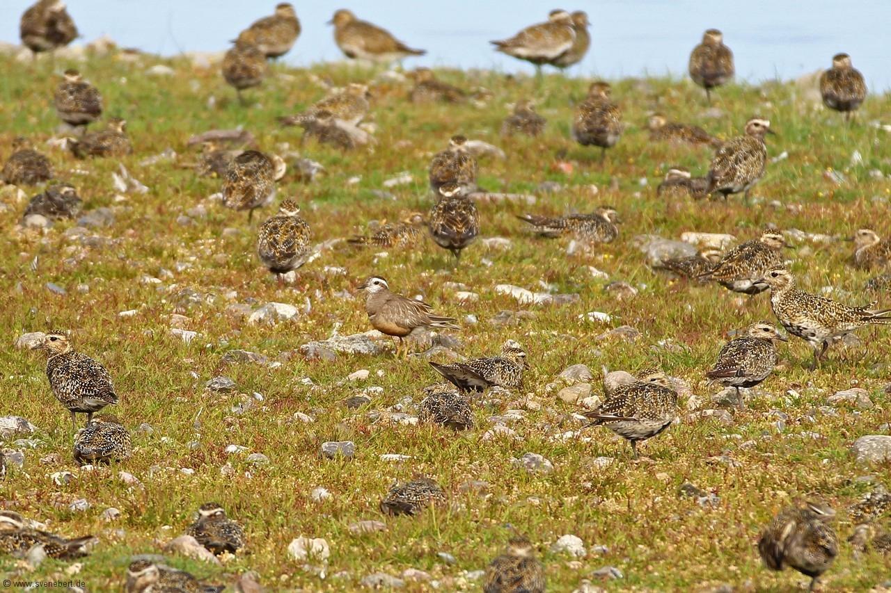 einige von ca. 700 Goldregenpfeifer, Ostsee, Insel Fehmarn, NABU Wasservogelreservat Wallnau, August 2015