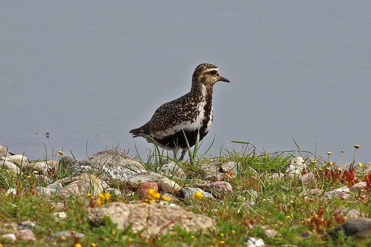 Goldregenpfeifer, Ostsee, Insel Fehmarn, NABU Wasservogelreservat Wallnau, August 2015