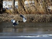 2 Grauhreiher eingesunken im  Morast auf teilweise zugefrorenem See, in der Nähe von Radeburg im März 2013
