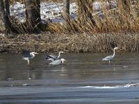 4 Grauhreiher eingesunken im  Morast auf teilweise zugefrorenem See, in der Nähe von Radeburg im März 2013