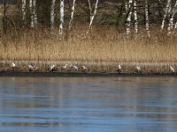 Grauhreiher Gruppe am Uferrand, See in der Nähe von Radeburg im März 2013