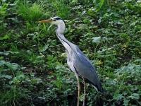 Grauhreiher hat den Fisch im Ganzen verschluckt, siehe dicker oberer Hals, Dresden großer Garten im Mai 2013