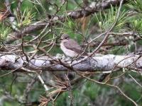 Grauschnäpper, Mallorca, Ort: Sa Coma im Naturschutzgebiet Punta de n'Amer im April 2013