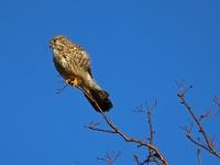 Turmfalke Weibchen, Februar 2014