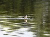 Grünschenenkel, Teichgebiet Zschorna, breiter Teich, Juli 2014