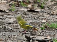 Grünfink Männchen im Prachtkleid (Sommer), Dresden Ostragehege im April 2013