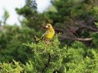 Grünfink in Mallorca, Ort: Sa Coma im Naturschutzgebiet Punta de n'Amer im April 2013