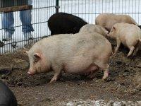 Hängebauchschwein im Wildgehege Moritzburg Januar 2013