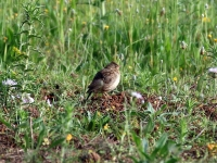 Haubenlerche in Mallorca, Ort: Sa Coma im Naturschutzgebiet Punta de n'Amer im April 2013