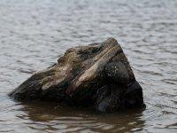Holz im Hochwasser am Elbufer Meißen im Januar 2013
