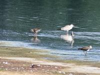 Kampfläufer Männchen im Übergang zum Schlichtkleid. Federkragen ist fast abgelegt. Teichgebiet Zschorna, breiter Teich Nordufer, Juli 2014