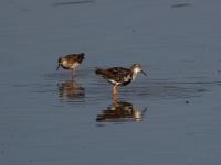 Kampfläufer rechts Männchen links Weibchen im Übergang zum Schlichtkleid. Teichgebiet Zschorna, breiter Teich Nordufer, Juli 2014