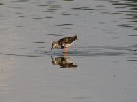 Kampfläufer Männchen, im Übergang zum Schlichtkleid. Teichgebiet Zschorna, breiter Teich Nordufer, Juli 2014